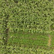 Die Schwefelbohnen-Versuchsflächen liegen inmitten eines normalen Maisfeldes in Haag. (Bild: PD)