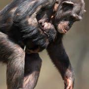 Schimpansin Fanny trägt ihr Jungtier ganz nah bei sich. (Bild: Walter Zoo)