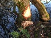 Nagespuren der Biber beim Rotsee. (Bild: Heidi Fischer)