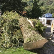 Der Baum war gesund. Trotzdem hielt er dem Sturm nicht stand. (Bild: Andrea Müntener-Zehnder)
