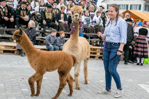 Auch zahlreiche Tiere waren an der Älperchilbi zu sehen: Von Lamas...