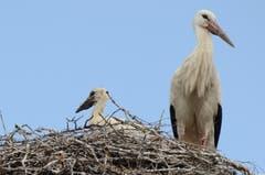 Dieser Jungvogel ist schon zu einer stattlichen Grösse herangewachsen. (Bild: Jessica Nigg)