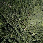 Im Kanton gibt es grosse bewaldete Flächen. So auch auf dem Zugerberg. (Bild: Stefan Kaiser, 1.Juli 2015)