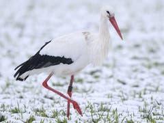 Ein Storch (Bild: PD)