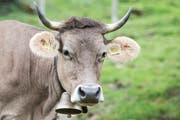 Diese Kuh hat sie noch, ihre Hörner. (Bild: Manuela Jans-Koch)