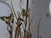 Im Raupenkasten haben sich 23 Schwalbenschwänze verpuppt. Mehr als die Hälfte ist bereits geschlüpft. (Bild: Jolanda Riedener)