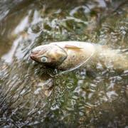 An ausgelaufener Gülle vergiftet: Ein toter Fisch im Mörschwiler Häftlibach. Bild: (Urs Bucher)