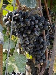 Rote Weintrauben mit Kriegsbemalung: Tonerde. (Bild: Janine Bollhalder)