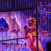 Zurück im Programm: Die Show mit den Löwinnen. (Archivbild: Andrea Stalder)