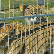 Zwei der drei Löwinnen sonnen sich in ihrem Gehege. (Bild: Mario Testa)