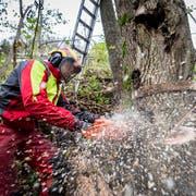 Wegen des noch bestehenden Überangebots an Holz könnte in der kommenden Saison manch einem Waldarbeiter die Arbeit ausgehen. (Bild: Urs Bucher)