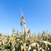 Trockenheit: ein Maisfeld bei Bürglen. (Bild: Donato Caspari, 15.Oktober 2018)