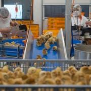 Jeden Montag und jeden Donnerstag schlüpfen in der Biobrüterei Lindenberg AG in Schongau rund 15'000 Küken. (Bilder: Dominik Wunderli, 15. April 2019)