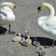Nur acht junge Schwäne konnten gerettet werden. (Bild: Selwyn Hoffman/Schaffhauser Nachrichten)