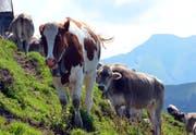Kühe auf einer Alp. (Bild Markus von Rotz)