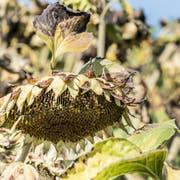 Die langanhaltende Hitze lässt die Felder in Ermatingen austrocknen. (Bild: Andrea Stalder)