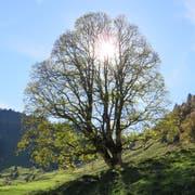 Ein Bergahorn in Beckenried. (Bild: PD/Urs Gander)
