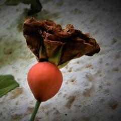 Ein herrliches «Überbleibsel» einer wunderschönen verblühten Rose. (Bild: Margrith Imhof-Röthlin, Naturschutzgebiet Wagenmoos, 18. Oktober 2019)