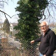Josef Zoller oberhalb der Wachsbleichestrasse bei einer Esche, deren Efeu gekappt worden ist (l.). So wie beim Baum rechts sieht die Ranke aus, wenn sie noch gesund ist. Efeu bietet Vögeln und Insekten Schutz und Nahrung, sagt der Biologe. (Bild: Martin Rechsteiner)