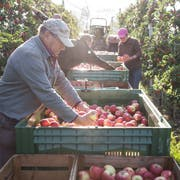 Dieses Jahr sind sie besonders gross, süss und zahlreich: die Äpfel in Luzern. Im Bild Sigu Meier bei der Apfelernte in Gelfingen. (Bild: Manuela Jans-Koch, 2. Oktober 2018)