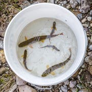 Der tiefe Wasserstand und die Temperaturen bedrohen das Leben der Fische. Bild einer Rettungsaktion im Entlebuch. (Bild: Philipp Schmidli, Schüpfheim, 23. Juli 2018)