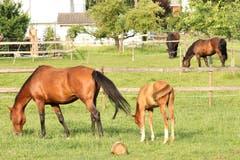 Auf der Pferdekoppel. (Bild: Irene Wanner, Schötz, 3. Juli 2019)