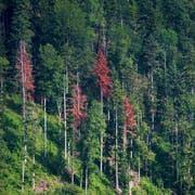 In diesem Schutzwald in Brunnadern stehen einige dürre, rot verfärbte Weisstannen. (Bild: Benjamin Manser)