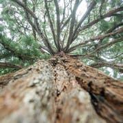 Die Giganten unter den Bäumen. (Bild: Benjamin Manser)