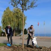 Rolf Heinzmann, Verwaltungsratspräsident der Ortsgemeinde Goldach und Gemeindepräsident Dominik Gemperli pflanzen die neue Weide an der Seepromenade (Bild: Ines Biedenkapp)