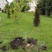 Am Langmoosweg wurden drei Eibenbäumchen entwendet, die seit Herbst den Wegrand säumen. (Bild: Jolanda Riedener)
