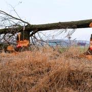 Ein frisch angenagter und aus Sicherheitsgründen gefällter Baum auf Höhe des Flugplatzes in Altenrhein. Schlimmstenfalls könnten Bäume auf die stark befahrene Burietstrasse fallen. (Bild: Rudolf Hirtl)