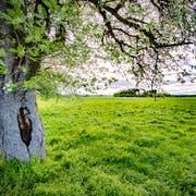 Das Land in der Sommerau misst knapp 100000 Quadratmeter, knapp ein Viertel davon muss Grünfläche bleiben. (Bild: Urs Bucher (9. Mai 2019))