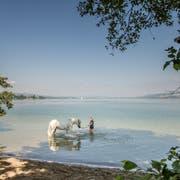 In der «Rossbadi» am Sempachersee finden auch Pferde die nötige Abkühlung. (Bild: Pius Amrein, Sempach, 16. Juli 2019)