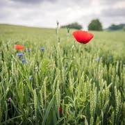 Mohnblumen in einem Weizenfeld bei Märwil: Die Biodiversität soll nicht nur in der Landwirtschaft gefördert werden. (Bild: Reto Martin)