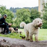 Hier dürfen Vierbeiner leinenlos rumtollen: Die Hundefreilaufzone auf der Allmend. (Bilder: Nadia Schärli, Luzern 13. August 2019)