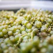 Die Solaris gehört zu den beliebtesten Weissweinsorten im Thurgau. (Bild: Andrea Stalder)