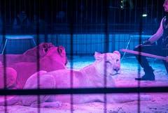 Die weisse Löwin schaut ins Publikum. (Bild: Andrea Stalder)