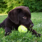Cute labrador puppy dog lying down in green grass field playing with yellow tennis ball in mouth