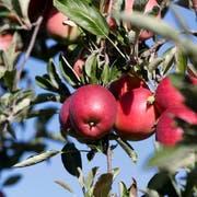 Alle wollen perfekte Äpfel. Aber wer bezahlt mehr für solche, die ohne synthetische Pestizide produziert wurden? (Bild: Donato Caspari)