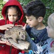 Ein Igel aus nächster Nähe: Vor dem Bau der Asthaufen können die Kinder vom Halden-Schulhaus an einem ausgestopften Exemplar die Merkmale der Stacheltiere kennen lernen. (Bilder: Reto Voneschen - 25. Oktober 2018)