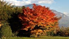 Der Herbst in voller Pracht, so wie es die Natur immer wieder schafft. (Bild: Margrith Imhof-Röthlin (Meggen, 5. November 2018))