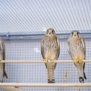 In der Wildpflegestation im Naturmuseum werden auch Falken wieder aufgepäppelt. (Bild: Claudio Heller)