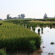 Reis wächst auch in der Nordschweiz. So wie hier beim erfolgreichen Pilotversuch der Agroscope in Schwadernau. (Bild: Agroscope/Kathrin Hartmann)