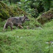 Symbolbild: Ein Wolf im Tierpark Goldau. (Bild: Romano Cuonz)