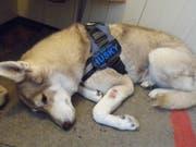 Der Husky hatte nur leichte Verletzungen erlitten. (Bild: pd)