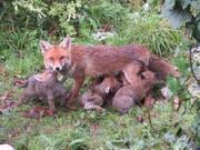 Wenn ein Fuchs Junge aufzieht, lässt er sich auch tagsüber blicken. (Bild: PD/Ursula Waldburger)