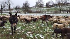 Zwei Esel begleiten eine grosse Schafherde in Gerligen. (Bild: Willy Birrer (13. Januar 2019))
