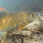 So sieht sie aus: die Äsche. (Symbolbild: Rainer Kühnis/Schweizerischer Fischereiverband/Keystone)