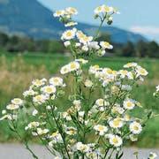 Das Berufkraut bildet von Juni bis Oktober neue Blüten. (Bild: Corinne Hanselmann)