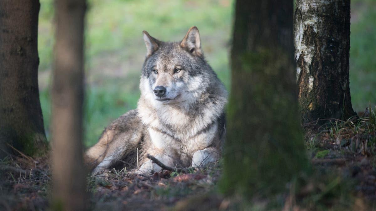 Wölfe reissen über zehn Schafe im Rheintal und im Appenzellerland | St.Galler Tagblatt